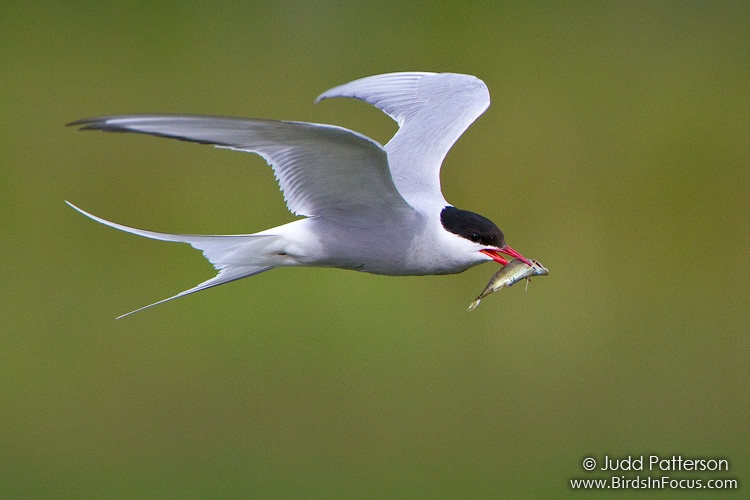 Arctic Tern By Juddpatterson On DeviantArt