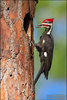 Pileated by juddpatterson