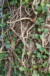 Tree trunk covered in Ivy Branches Texture