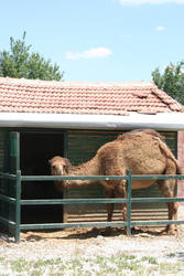 Camel behind Fence in Turkish Zoo