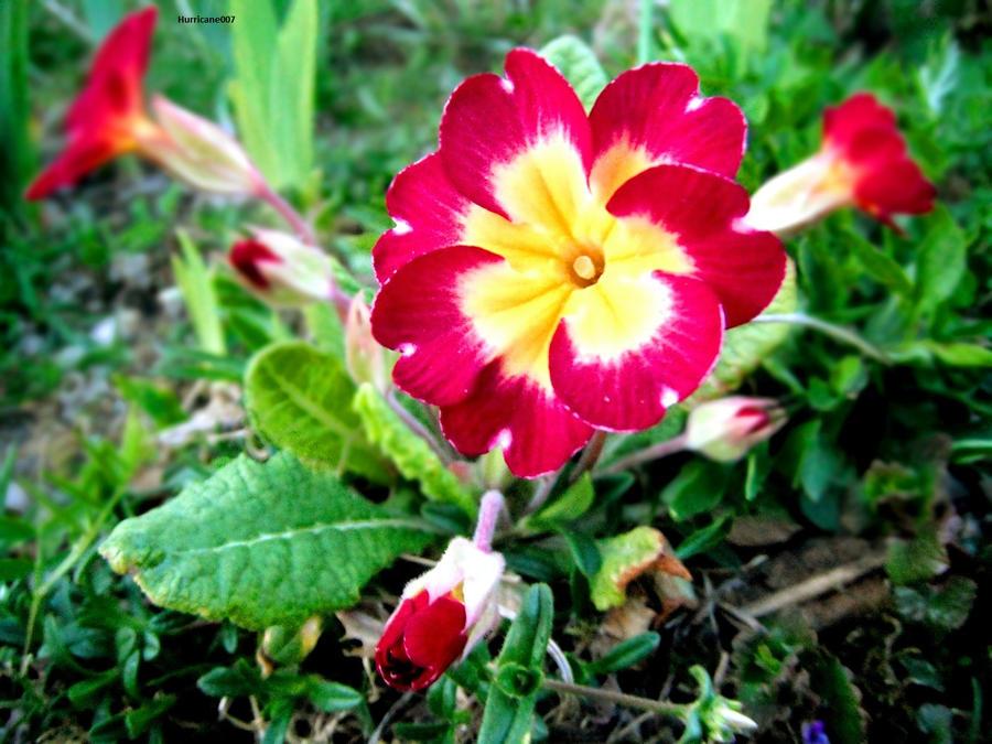 Flower by Hurricane007
