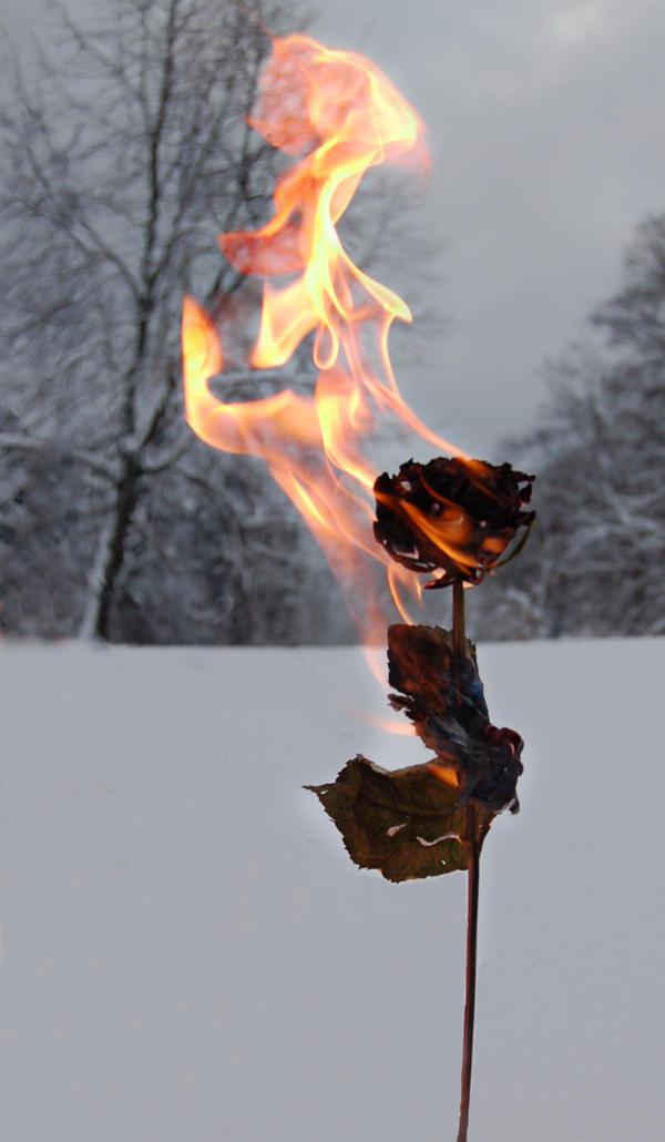 Burning rose by memphi
