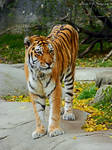 Beautiful Bengal Tiger