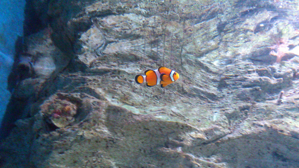 My third Wallpaper - Clownfish by Shinishii-is-Deead