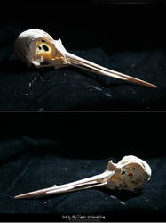 Bird Skulls Stock 10 by emothic-stock