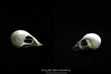 Bird Skulls Stock 15 by emothic-stock