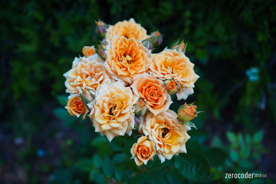 Roses by Zerocoder