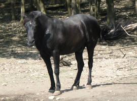 horse stock 1 by EveBlackwoodStock