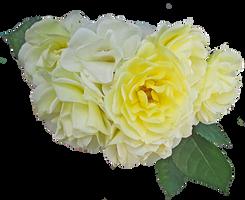 yellow roses by EveBlackwoodStock