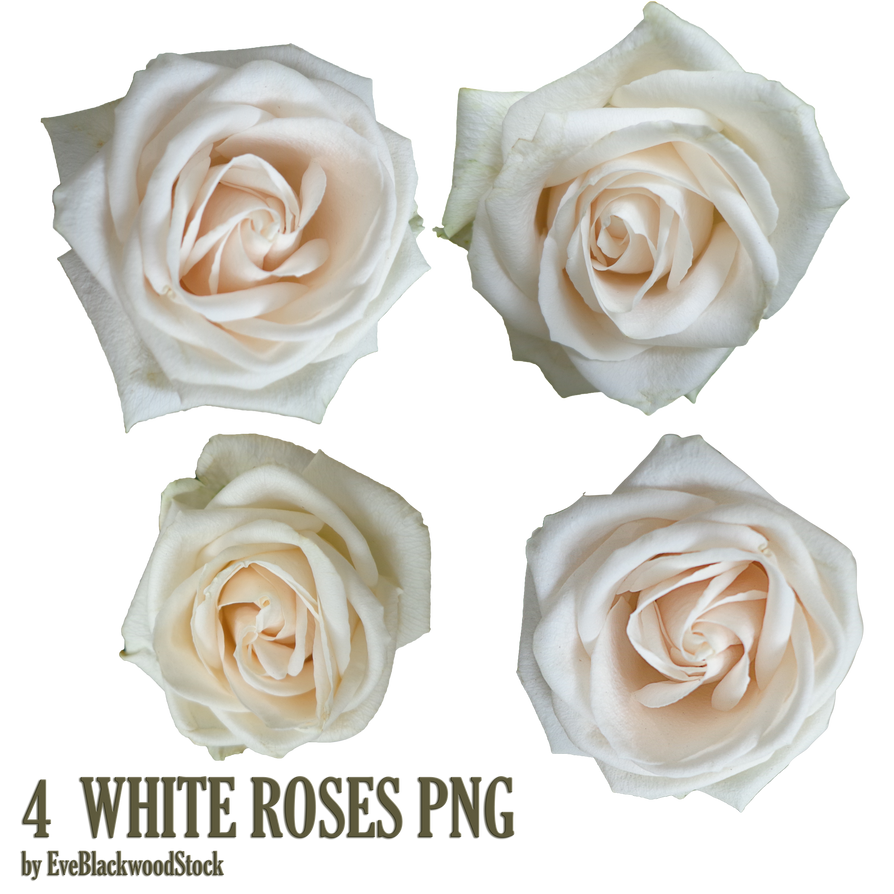 White Rose Png White Roses Png by