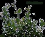 lateral foliage 6