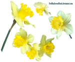 Daffodils 2 PNG