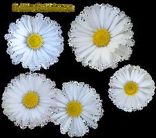 Daisy PNG by EveBlackwoodStock