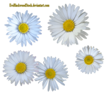 Daisy PNG