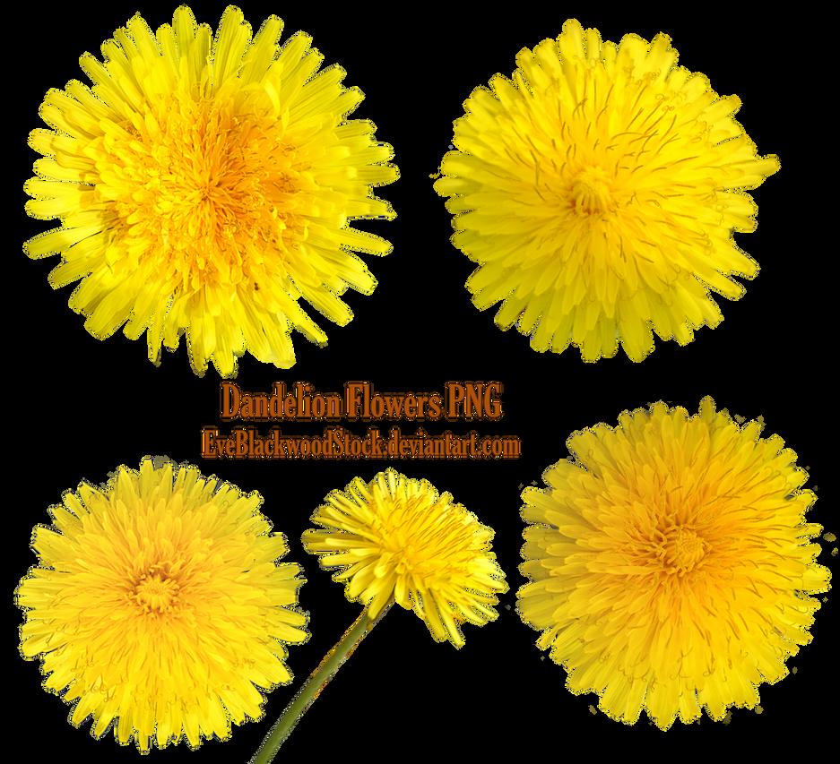 Dandelions PNG by EveBlackwoodStock