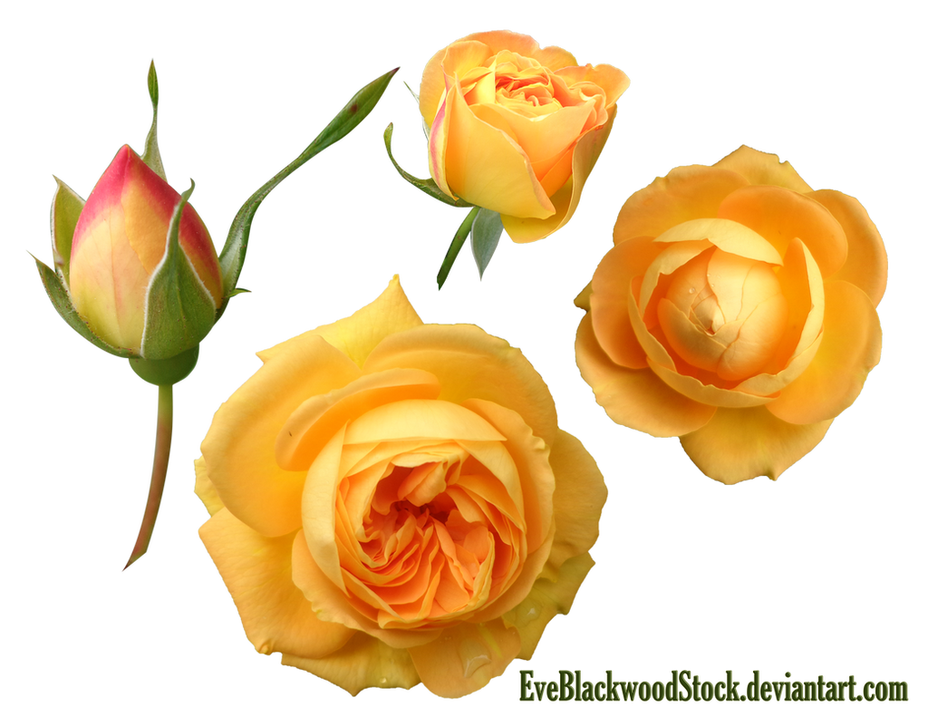 Yellow buds PNG by EveBlackwoodStock