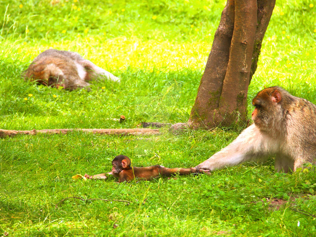 Barbary Macaque Parenting Techniques by garden--gnome