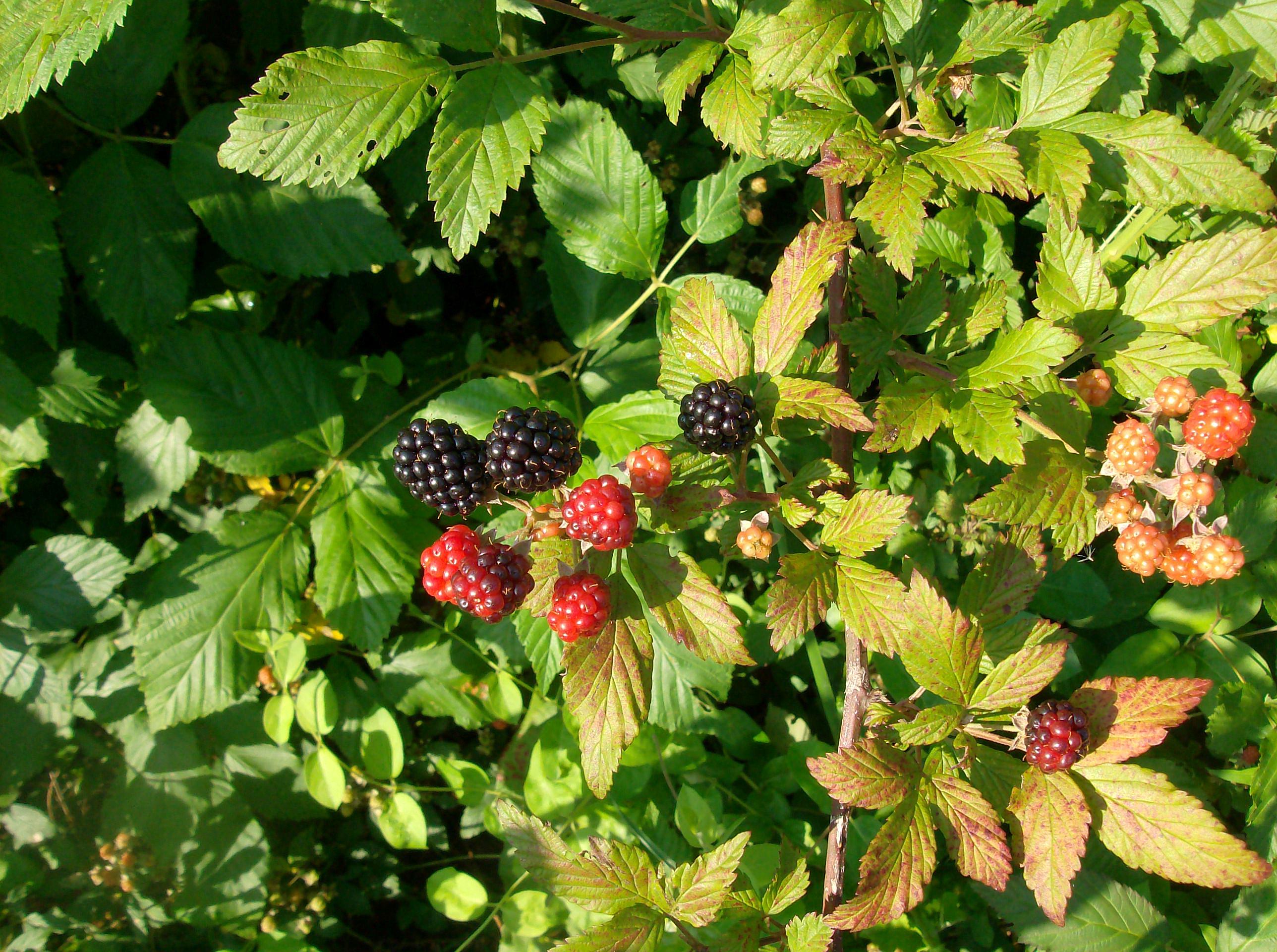 Raspberries and Blackberries by FearOfTheBlackWolf