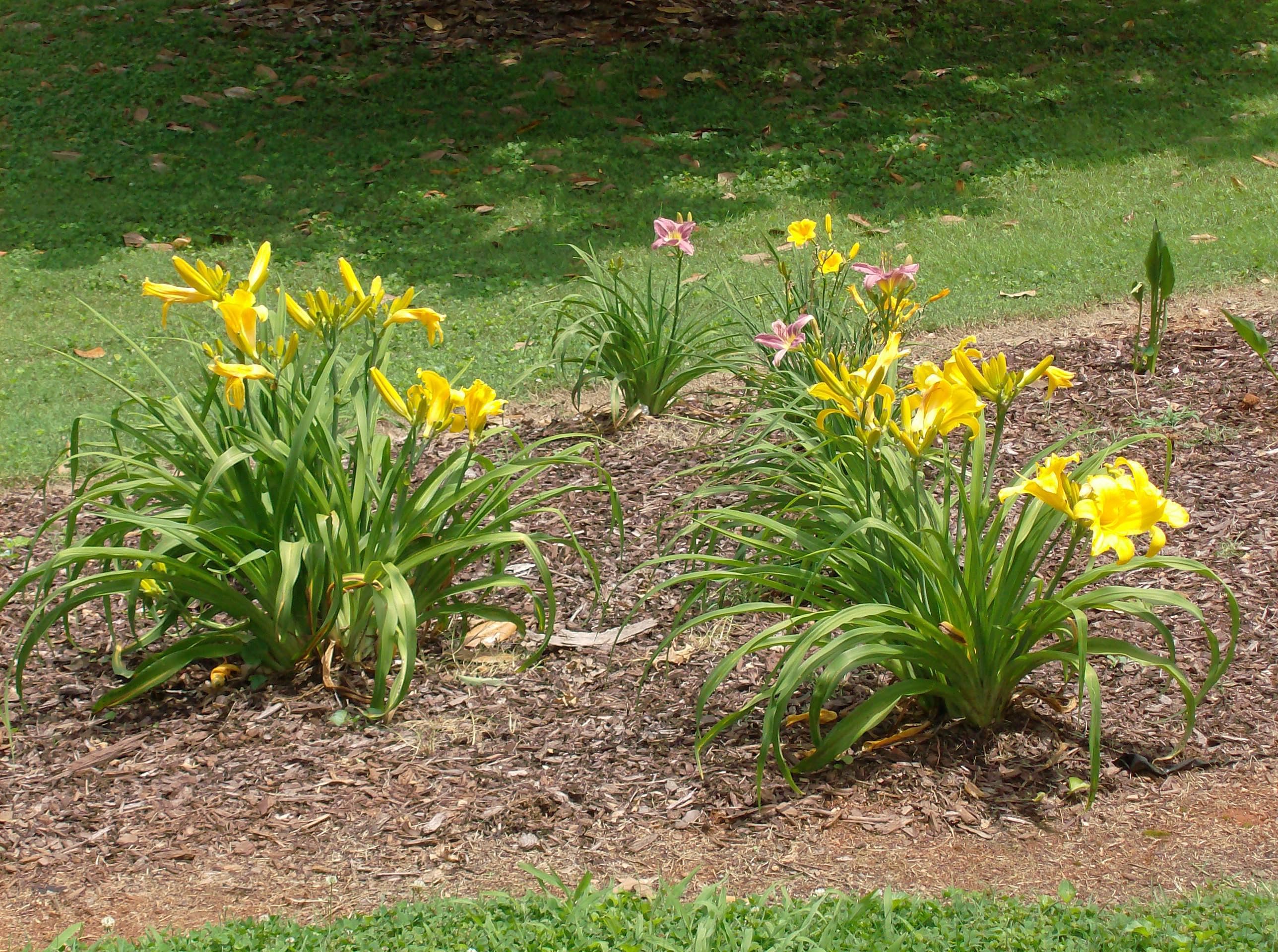 Yellow Tiger Lillies by FearOfTheBlackWolf