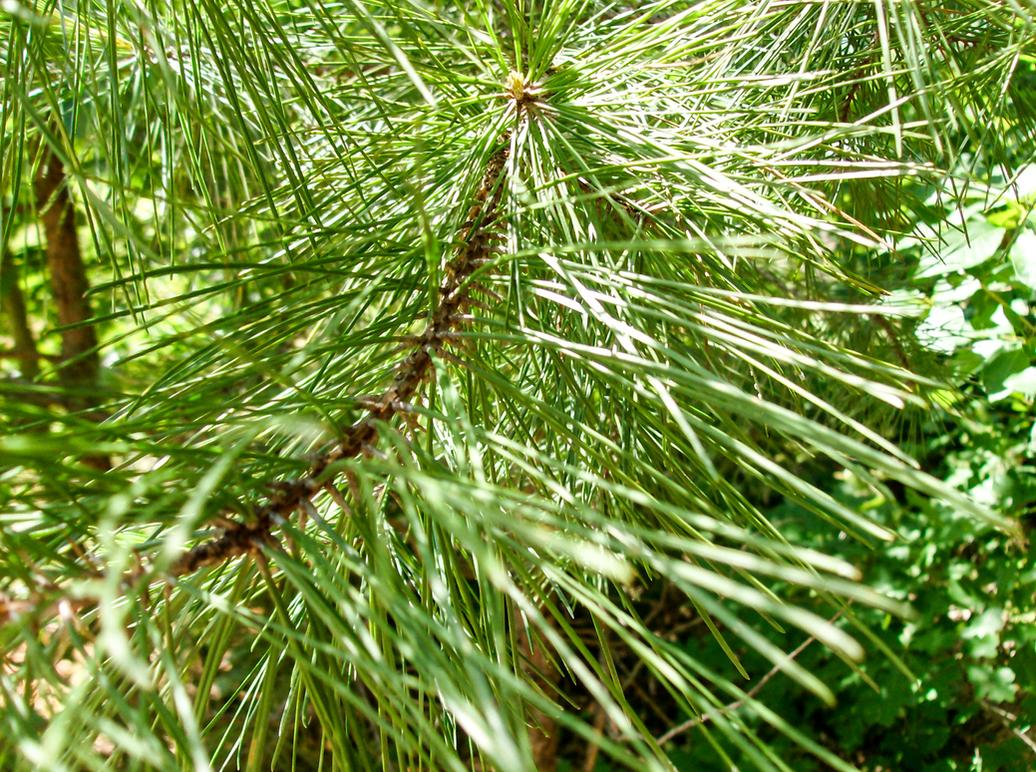Pine Tree Needles (Up-Close) by FearOfTheBlackWolf