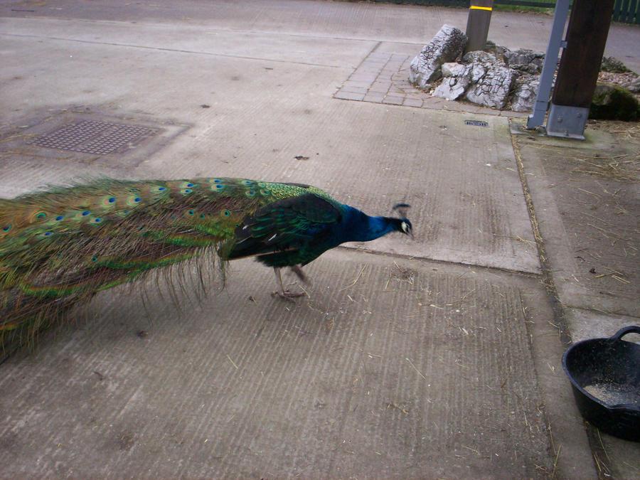 Peacock 3 by Holsmetree