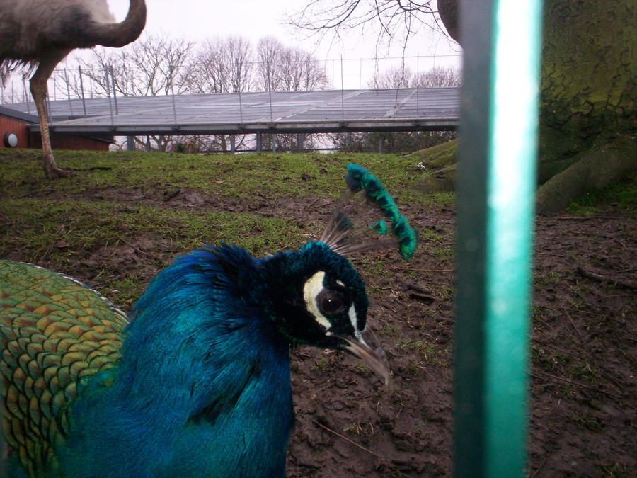 Peacock 5 by Holsmetree