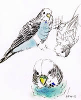Projekt:animal sketches_budgie by Araless