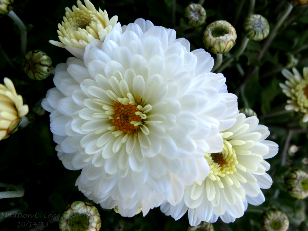 White Mums by wolfkisses101