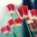The spring of tulip by JunJun510