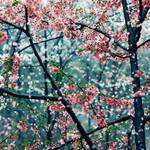Cherry snow by JunJun510