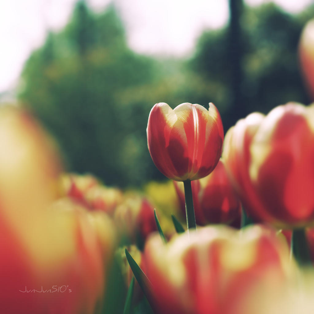 tulips by JunJun510