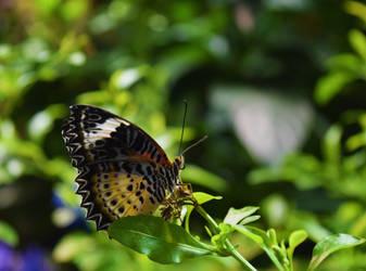 Leopard Lacewing Butterfly by Blue-Ridge-Riley