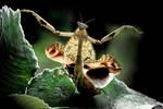 Dance Of The Mantis