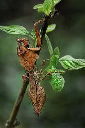 The Leaf Mantis