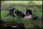 European wolf puppies