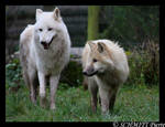 Arctic wolf and puppy