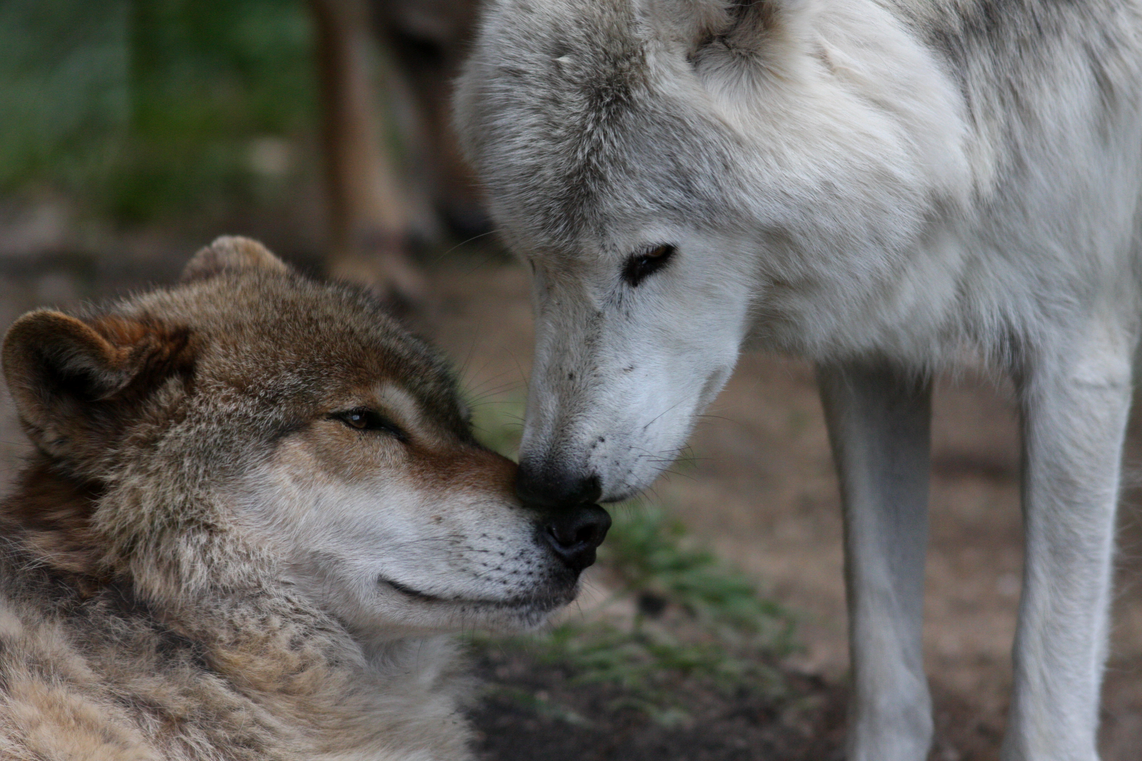Wolf hug by Kiba67