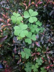 Lucky leaf by Berrya