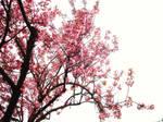 --CherryBlossoms