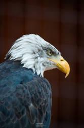 Bald Eagle by knipslein