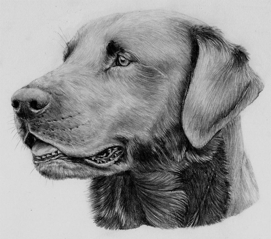 Labrador dog by LauriieT