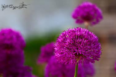 Little bloom of garlic by MargueritteWeinlich