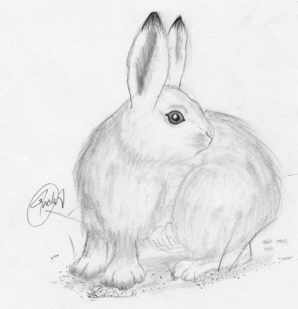 arctic hare drawing step by step