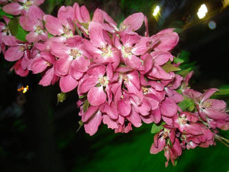 Crabapple blossoms by forgotten-angel777