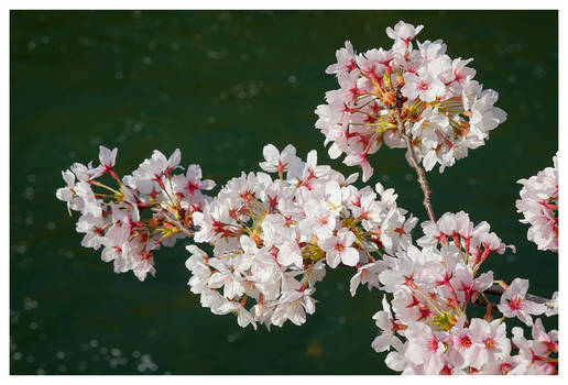 Blossoms At The River 02