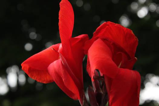 Still Life Red Flower