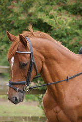 Horse Head stock