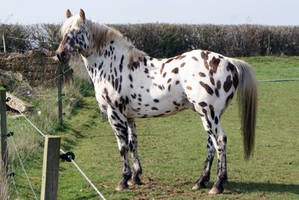 Appaloosa Stock 02 by candigal