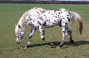 Appaloosa Stock 04 by candigal