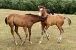 Foal stock 05